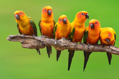 papagayo: Seis de Sun Conure loro perching p�jaro en una rama