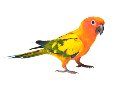 Beautiful Sun Conure bird isolated on white background