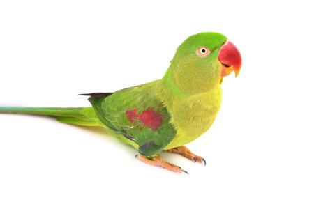 periquito: Primer Mujer Alexandrine Parakeet aves aisladas en blanco backgroud