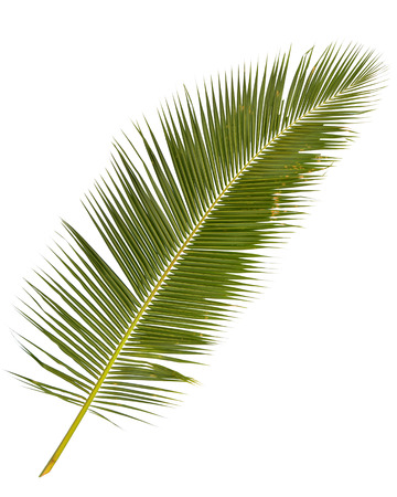 tree trunks: palm tree leaves isolated on white backgroud Stock Photo