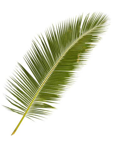 palmboom bladeren geïsoleerd op witte achtergrondgeluid
