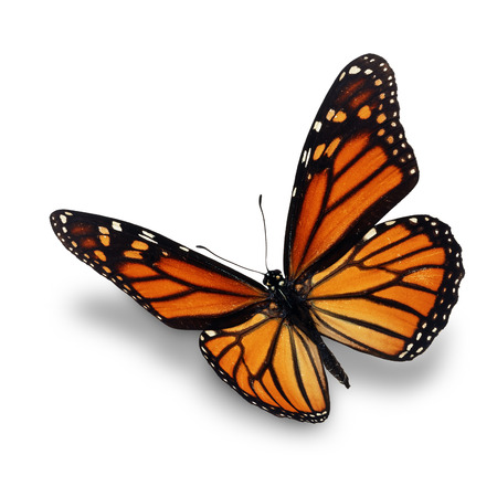 monarch butterfly: Beautiful monarch butterfly isolated on white background. Stock Photo