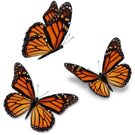 isolated  white: Tre farfalla monarca, isolato su sfondo bianco Archivio Fotografico