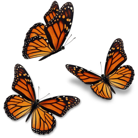 mariposas volando: Tres mariposa monarca, aislado en fondo blanco Foto de archivo