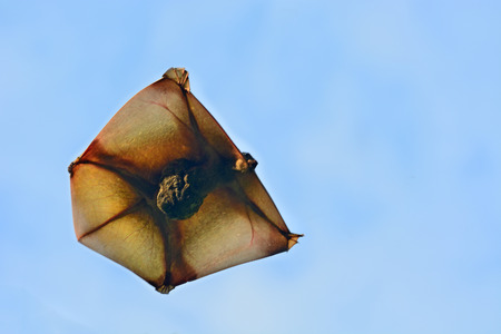 Flying Lemur (Galeopterus variegatus) flying