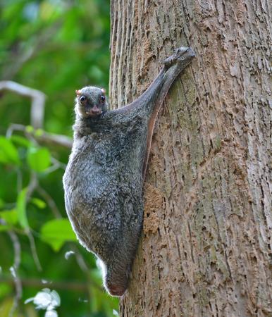 ヒヨケザル (Galeopterus 種) の木にしがみついているし、日中にかかっています。 写真素材