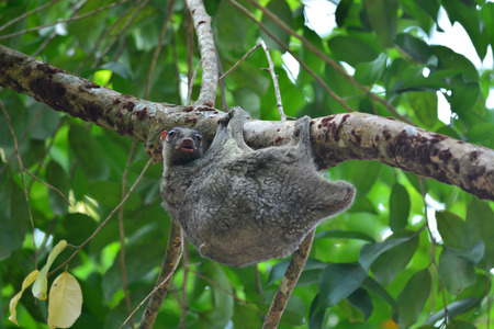 Flying Lemur (Galeopterus variegatus) clings to a tree and rests during the day Stock Photo