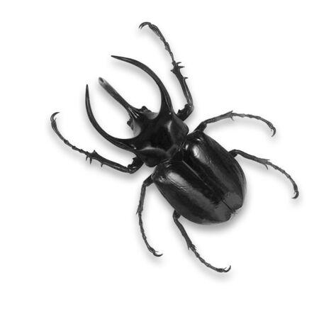 mandibles: Black beetle isolated on white background