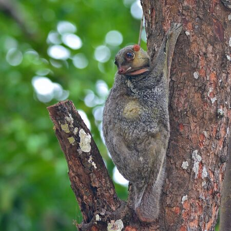 Flying Lemur (Galeopterus variegatus) clings to a tree and rests during the day (nocturnal animal), in Mu Ko Surin National Park, Thailand