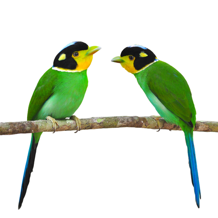yellow tailed: Beautiful bird, couple of Long - tailed Broadbill (Psarisomus dalhousiae) perching on a branch.white background