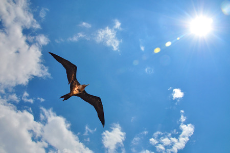 ariel: Lesser Frigatebird (Fregata ariel) showing wing spread on sky and sun background