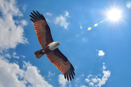 Brahminy Kite showing wing spread on sky and sun background 스톡 콘텐츠