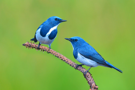 ultramarine blue: Couple of Colorful blue and white bird, male Ultramarine Flycatcher (Ficedula superciliaris) , perching on a branch