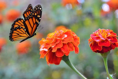 Monarch vlinder op een bloem