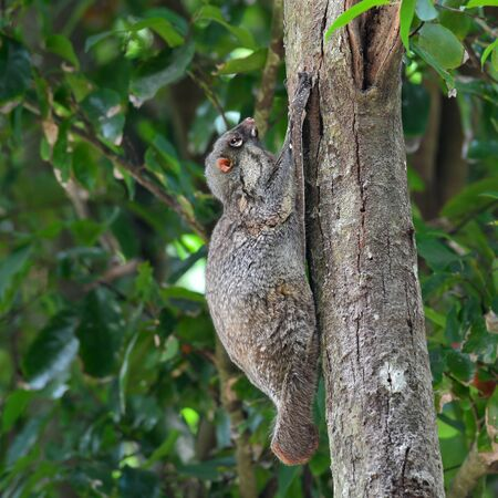 nocturnal: Flying Lemur (Galeopterus variegatus) clings to a tree and rests during the day (nocturnal animal), in Mu Ko Surin National Park, Thailand