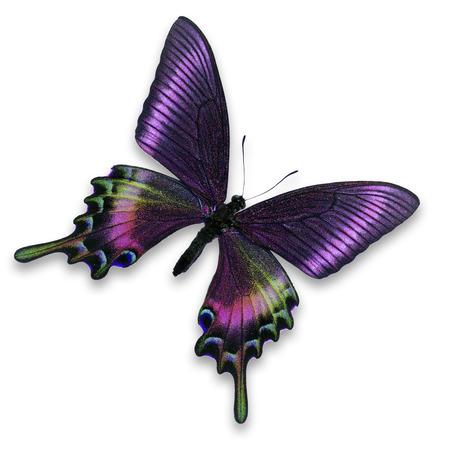 白い背景で隔離の美しい紫蝶