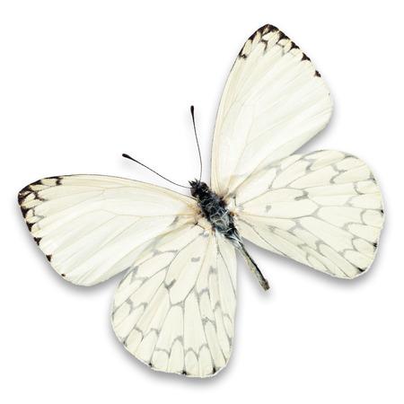 papillon: papillon blanc isol� sur fond blanc Banque d'images