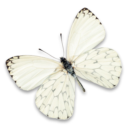 butterfly in flight: white butterfly isolated on white background Stock Photo