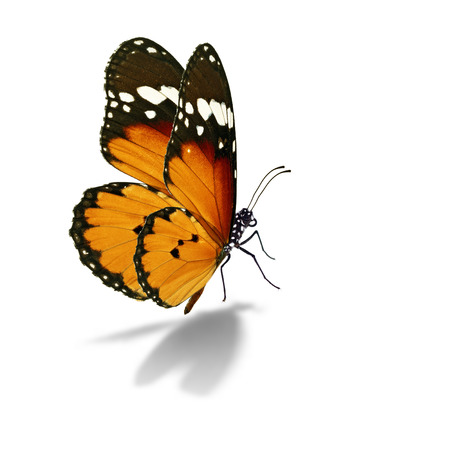 to black: Beautiful colorful butterfly isolated on white background.