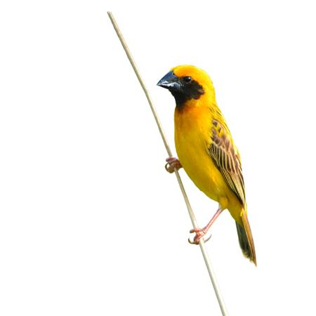 eating area: Beautiful bird, Asian Golden Weaver on breeding,Male Ploceus hypoxanthus white background.