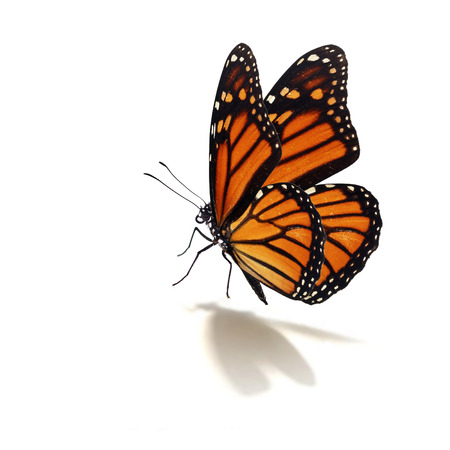 isolated on white: Beautiful monarch butterfly isolated on white background