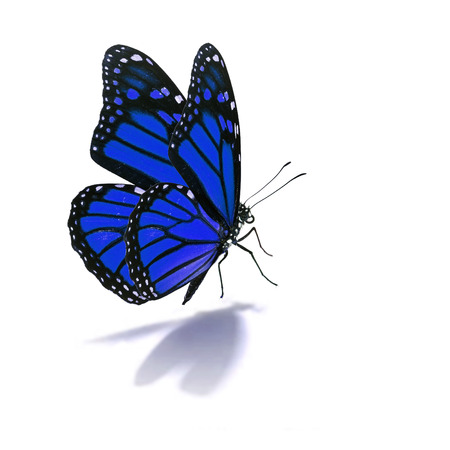 Beautiful blue butterfly isolated on white background photo