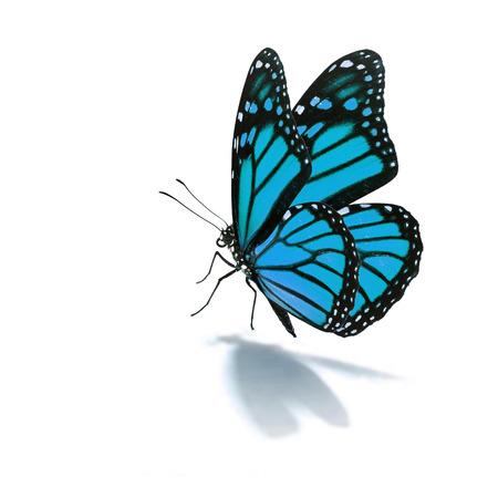 mariposa: Hermosa mariposa azul sobre fondo blanco