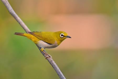 beautifu: Beautifu yellow bird, Oriental White-eye Bird (Zosterops palpebrosus) perching on a branch