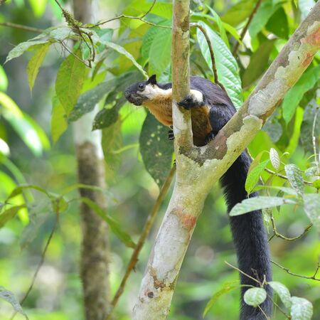 black giant: Beautifu Black giant squirrel on nature in Thailand