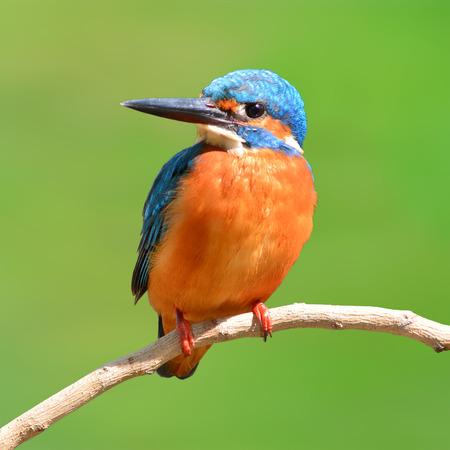 alcedo athis: A beautiful Kingfisher bird, male Common Kingfisher (Alcedo athis), perching on a branch