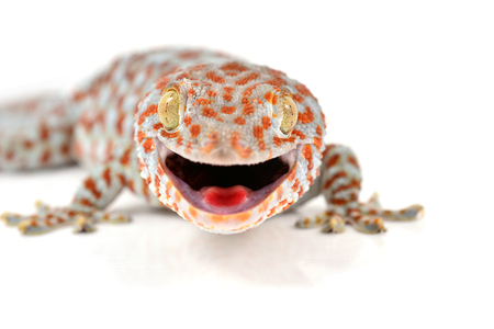 tokay gecko: Tokay, Gecko, Calling gecko isolated on white background Stock Photo