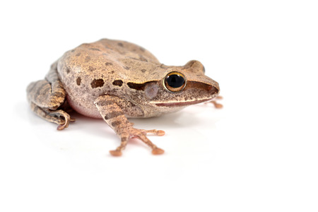 amphibia: Shrub frog, Moss frog, Polypedates leucomystax isolated on white background