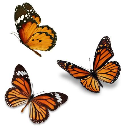 libertad: Tres mariposa monarca, aislado en fondo blanco Foto de archivo