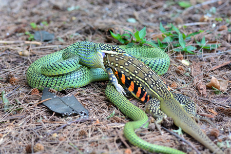 constrict: The Golden Tree Snake (Chrysopelea ornata) is eating Butterfly lizard