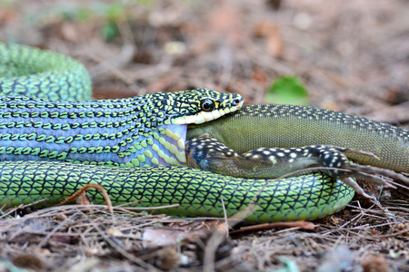 gulp: The Golden Tree Snake (Chrysopelea ornata) is eating Butterfly lizard