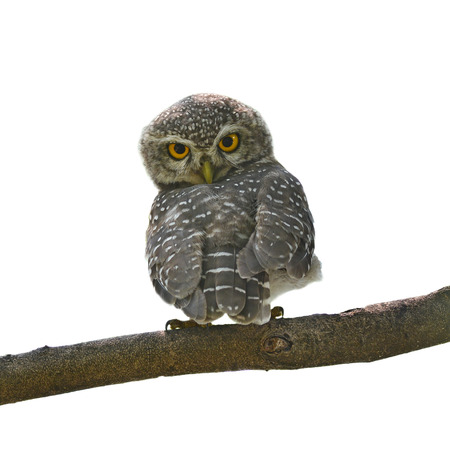 owlet: Beautiful Owl bird (Spotted owlet) perching on a branch on white background Stock Photo