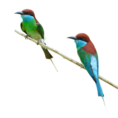 couple of Beautiful Bee-eate bird ( Blue throated Bee eater) on white background photo