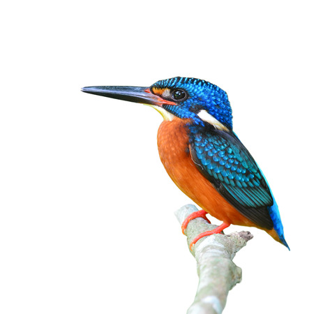 alcedo: Beautiful Colorful Kingfisher bird, male Blue-eared Kingfisher (Alcedo meninting), standing on a branch, on white background Stock Photo