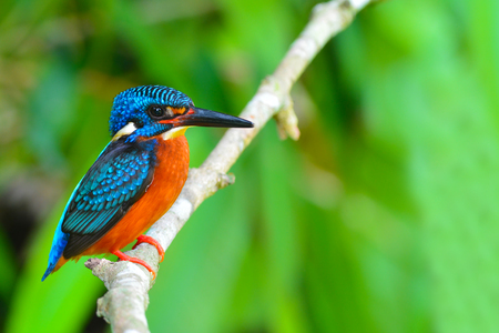 alcedo: Beautiful Colorful Kingfisher bird, male Blue-eared Kingfisher (Alcedo meninting), standing on a branch