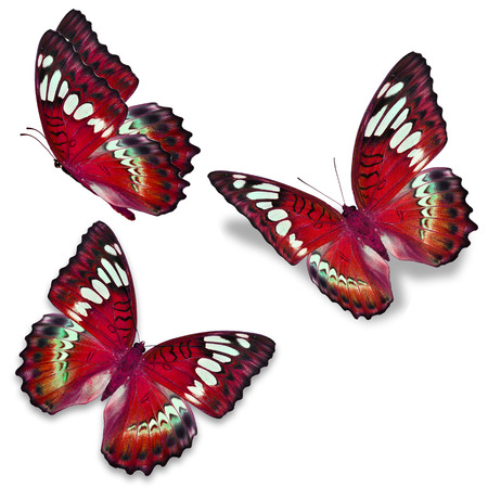 north american butterflies: Three red butterfly, isolated on white background