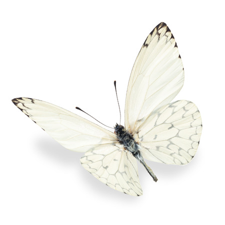 Beautiful white butterfly, isolated on white background
