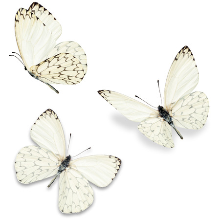 to white: Three white butterfly, isolated on white background