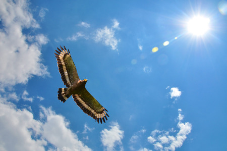 Crested serpent-eagle (Spilornis cheela) showing wing spread on sky and sun background