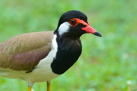 lapwing: Beautiful red-wattled lapwing (Microhierax fringillarius) in the hole, bird of Thailand