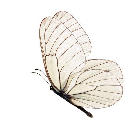 白い背景に分離された白い蝶 写真素材