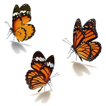 mariposas amarillas: Tres mariposa monarca naranja aislada sobre fondo blanco