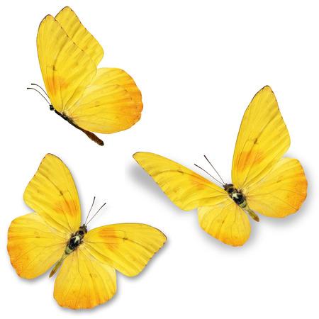 3 つの黄色の蝶、白い背景で隔離