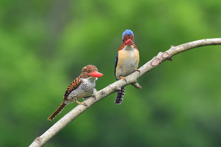 nice stay: Mother and father of Banded Kingfisher bird, the beautiful crested blue birds perching on the branch.