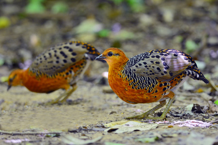 ferruginous: Ferruginous Partridge (Caloperdix oculea) bird of Thailand