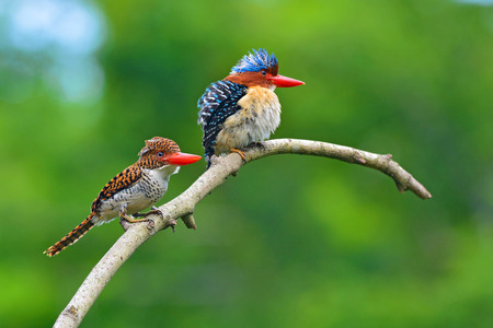 Beautiful couple of Banded Kingfisher birds perching on the branch, bird of Thailand 免版税图像